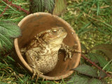 Common Toad, Sitting in Clay Flower Pot, Sheffield