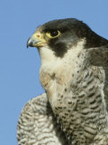 Peregrine Falcon, Close-up Portrait of Adult Male, UK