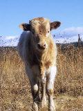 Texas Longhorn, Calf Standing, Colorado, USA