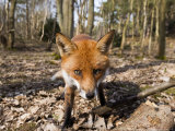 Red Fox, Close up Wide Angle View of Young Male Fox, Lancashire, UK