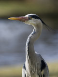 Grey Heron, Head and Chest Portrait Showing Head Plumes, London, UK