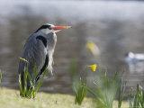 Grey Heron, Standing on Lake Bank in Daffodils, London, UK
