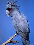 Black Palm Cockatoo, Crest Up, Zoo Animal