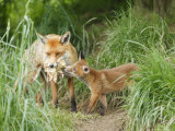 Red Fox, Parent Delivering Food to Cub, Sussex, UK