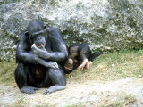 Chimpanzee, Mother & Baby, Zoo Animal