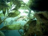Giant Kelp Forest, California, USA