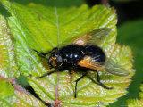 Muscid Fly, Adult Basking on Leaf, Cambridgeshire, UK