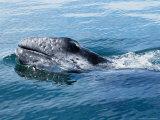 Grey Whale, Porpoising, Mexico