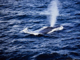 Blue Whale, Blowing, Baja Calif