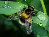 Hoverfly, Adult Resting on Wet Leaf, Cambridgeshire, UK