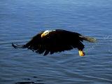 Bald Eagle, Feb, USA
