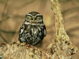 Little Owl, Hampshire