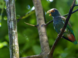 White-Crowned Parrot, Parrot Perched on Branch with Beak Open, Costa Rica