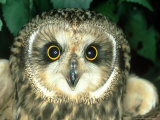 Short-Eared Owl, England