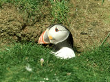 Puffin, Peering out of Hole, Shetland