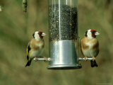 Goldfinch, Pair Feeding on Birdfeeder, UK