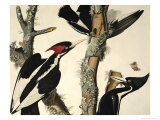 Ivory-Billed Woodpecker, from Birds of America, Engraved by Robert Havell