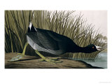 American Coot, from Birds of America, 1835
