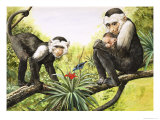 Capuchin Monkeys, Illustration from Nature's Wonderland, 1969
