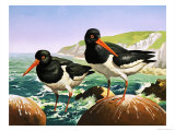 Oystercatchers, Illustration from Once Upon a Time