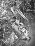 A Brown Pelican Wades