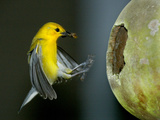 A Prothonotary Warbler