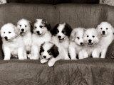 Pyrenean Mountain Dog Puppies, January 1986