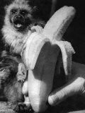 Monkeys and Marmosets, September 1955