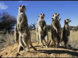 Group of Meerkats Standing Guard