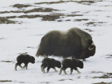 Musk-Ox and Three Calves on the Snow-Covered Tundra