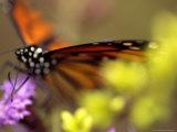 Monarch Butterfly Feeding on Wildflowers
