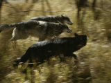 Trio of Gray Wolves, Canis Lupus, Run Through a Woodland Setting