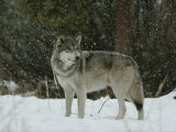 Gray Wolf, Canis Lupus, in a Snow Shower