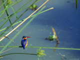 Kingfisher Sits on a Pondside Grass