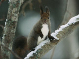 Close View of a Hokkaido Squirrel on a Snow Covered Tree Branch