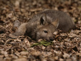 Five-Week-Old Gray Wolf Pup, Canis Lupus, Rests in a Pile of Leaves