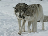 Two Gray Wolves, Canis Lupus, Pal Around in a Snowy Landscape