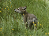 Five-Week-Old Gray Wolf, Canis Lupus, Sniffs at a Wildflower