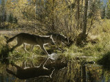 Two Gray Wolves, Canis Lupus, Cross a Small Woodland Pond