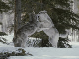 Couple of Gray Wolves, Canis Lupus, Play in a Wintry Landscape