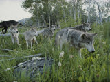 Group of Gray Wolves, Canis Lupus, Walk Through a Mountain Meadow