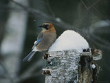 An Eurasian Jay Perched on a Snow Covered Tree Stump