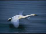 Whooper Swan Flies Low Over Water