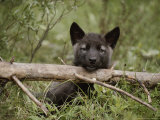 Nine-Week-Old Gray Wolf Pup, Canis Lupus, Peers Over a Log