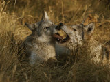 Fourteen-Week-Old Gray Wolf Pups, Canis Lupus, Jaw Spar