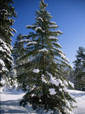 View of a Pine Tree Covered in Snow