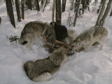 Pack of Gray Wolves, Canis Lupus, Feast on the Carcass of an Elk