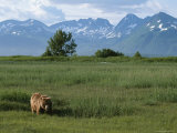 An Alaskan Brown Bear in a Meadow at the Foot of the Aleutian Range