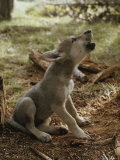 Nine-Week-Old Gray Wolf Pup, Canis Lupus, Sits and Howls