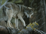Gray Wolf, Canis Lupus, Walks Along a Fallen Tree